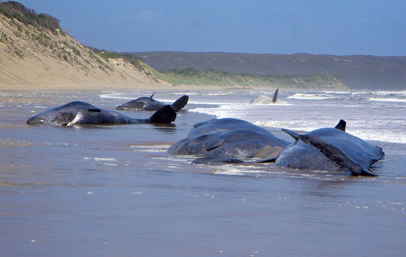 Cá voi hoa bị mắc cạn hàng loạt tại New Zealand