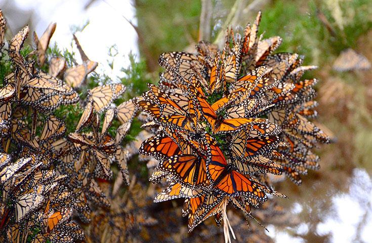 Ảnh đẹp: Một đàn bướm chúa đậu trên cây