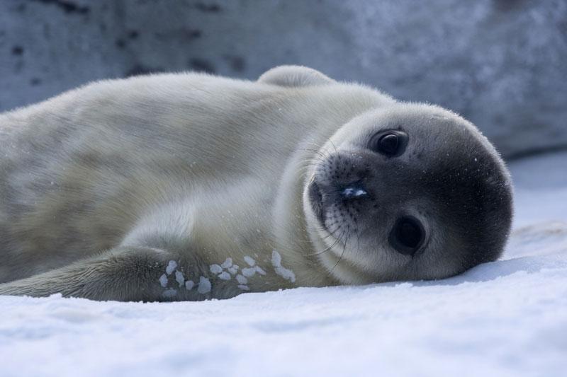 Hải cẩu có thể tuyệt chủng do biến đổi khí hậu