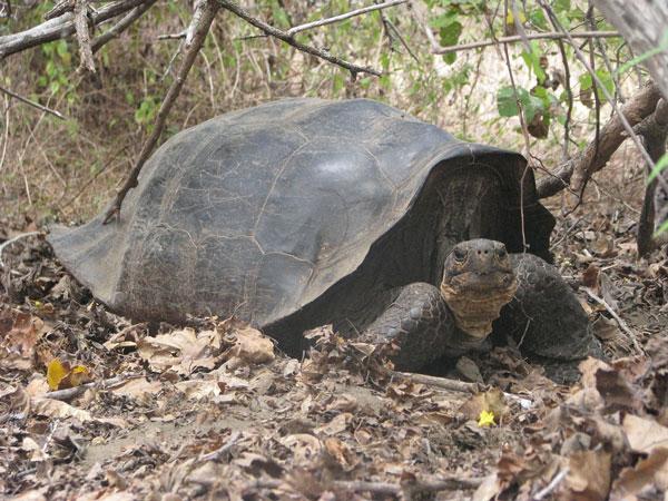 Loài rùa khổng lồ Chelonoidis elephantopus