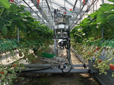 Robot thu hoạch trái cây.