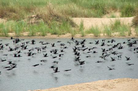 Ngỡ ngàng vì hàng nghìn con chim quý bỗng biến mất