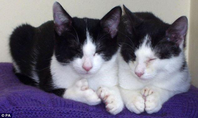 Đôi mèo đột biến 54 ngón chân