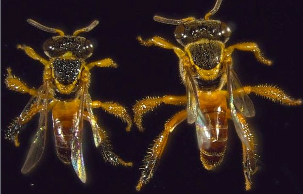 Những chiến binh của loài ong Jatai