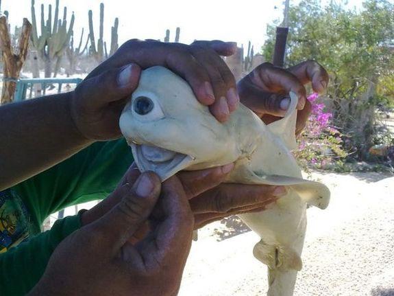 Một bào thai cá mập với chỉ một con mắt