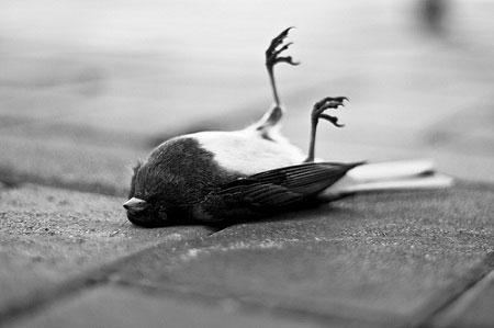 Cái chết bí ẩn của hàng ngàn của chim đen ở Arkansas và Louisiana