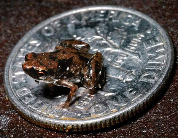 Phát hiện loài ếch nhỏ bằng nửa chiếc kẹo