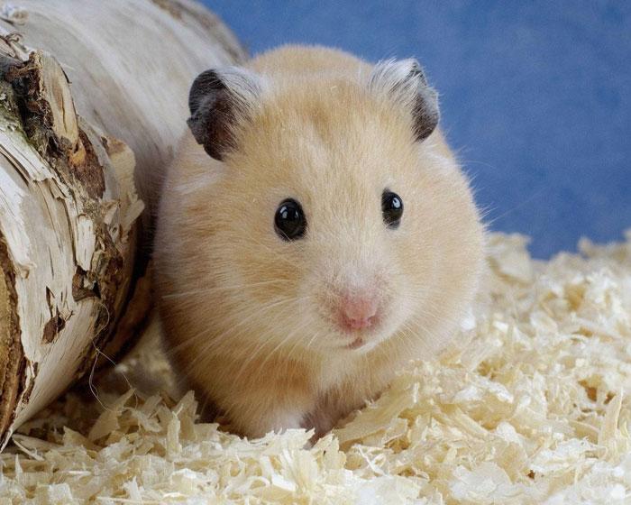 Với một kỹ thuật di truyền kì lạ và một tế bào gốc, các nhà nghiên cứu đã tạo ra chú chuột đầu tiên từ gene của 2 chuột đực