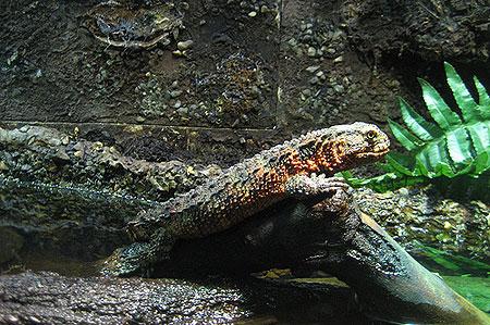Cũng như cá sấu, chúng là loài vật sống nửa cạn, nửa nước.