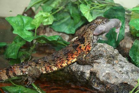 Các loài động vật nhỏ là thức ăn ưa thích của thằn lằn cá sấu.