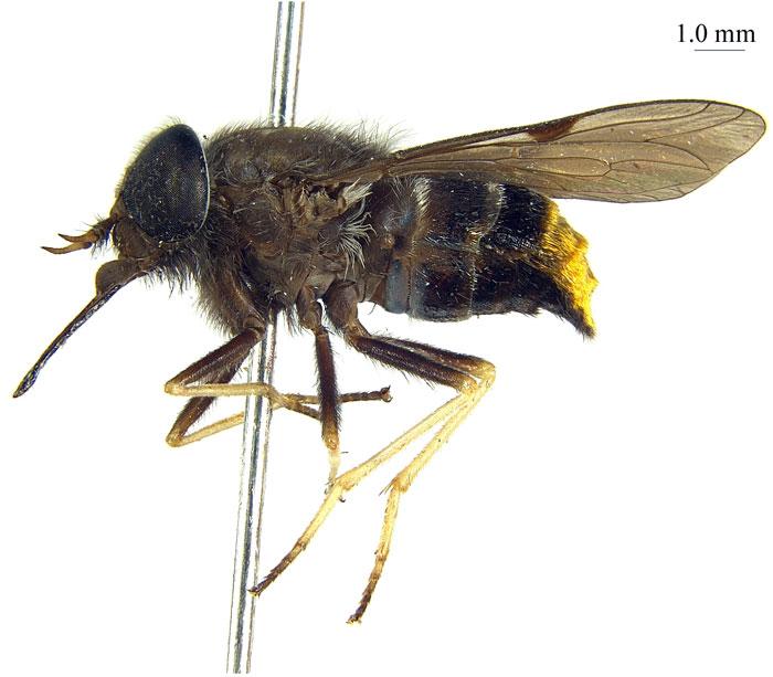 Ca sĩ Beyonce được lấy tên đặt cho 1 loài ruồi