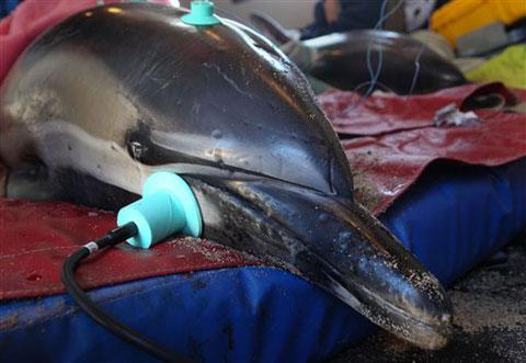 Cá heo mắc cạn trên bờ biển Mỹ