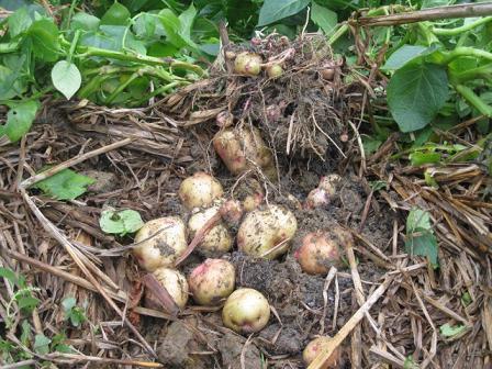 Cách thức mới để trồng khoai tây cho hiệu quả cao