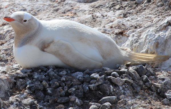 Phát hiện một loài chim cánh cụt hiếm ở Nam Cực