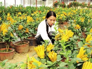 Giống Phật thủ cảnh được ươm trồng tại Công ty CP giống - vật tư nông nghiệp công nghệ cao Việt Nam phục vụ Tết Nguyên đán.