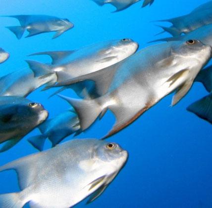 Khí thải CO2 làm thay đổi tập tính của loài cá biển