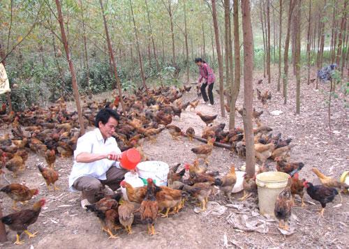 Bắc Kạn: Thử nghiệm mô hình chăn nuôi gà thả đồi