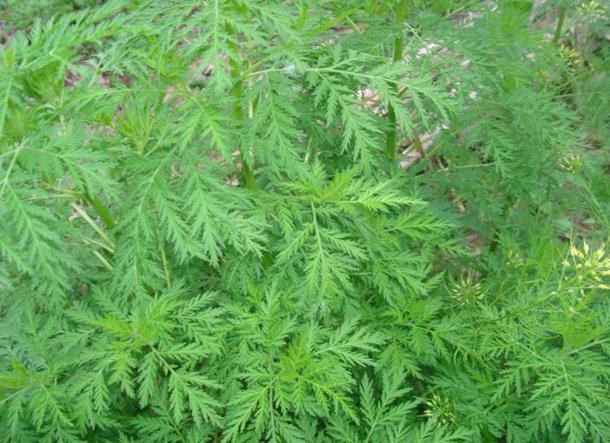 Chiết xuất thuốc từ cây ngải tây để chữa sốt rét