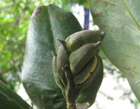 Loài cây mới lộ diện tại Việt Nam