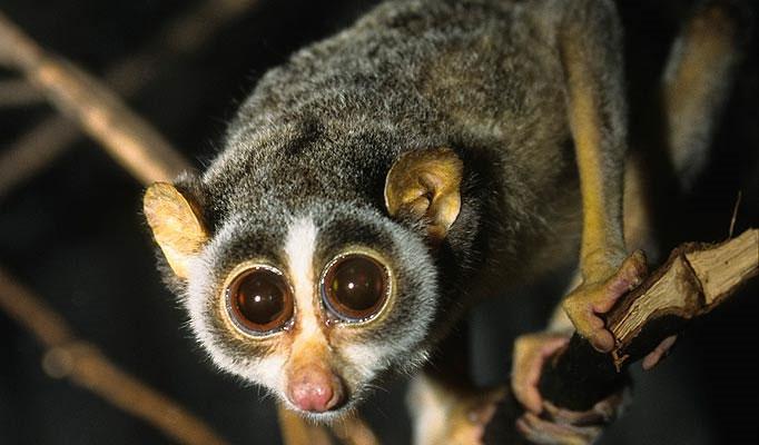Con culi ở Ấn Độ thường săn côn trùng nhỏ vào ban đêm để tránh kẻ thù.