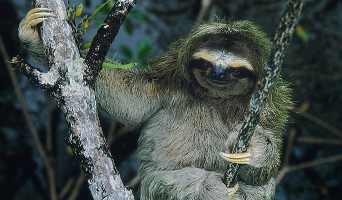 Loài lười chỉ sống trên các hòn đảo ở ngoài khơi Panama thuộc Trung Mỹ.