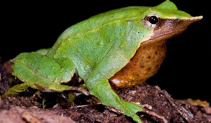 Loài ếch xanh có hình thù kỳ lạ ở Nam Phi.