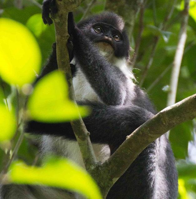 Tìm thấy một giống khỉ quý hiếm trên đảo Borneo