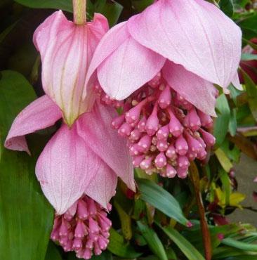 Phát hiện một loài cây nở hoa mới quý hiếm ở Fiji