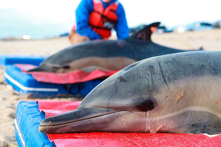 Hai con cá heo chuẩn bị được thả về biển từ vịnh Cape Cod, Mỹ.