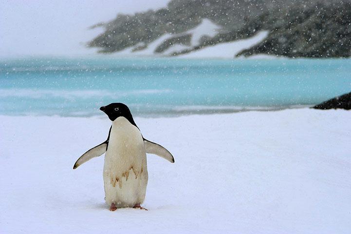 Một con chim cánh cụt nghỉ ngơi trên hồ Xanh ở Nam Cực.
