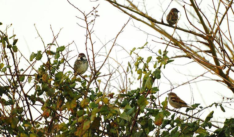 Những con chim sẻ đậu trên cây ở Southampton, Anh.
