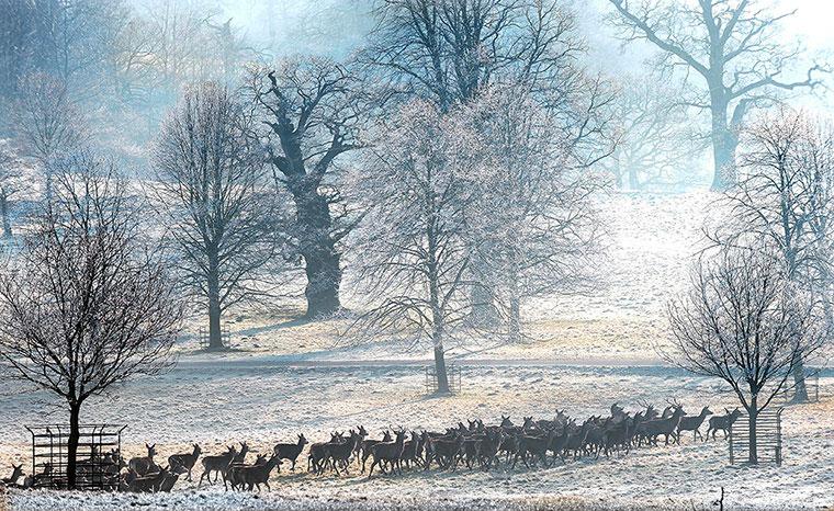 Đàn hươu đi dưới sương trắng ở Studley Royal, Anh.