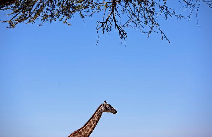 Một con hươu đi qua cây keo – một trong những món ăn yêu thích của nó trong khu bảo tồn Crescent ở Kenya.
