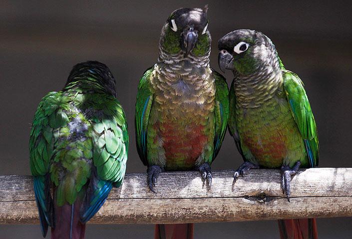 Những con vẹt nhiều màu sắc ở Nam Phi.
