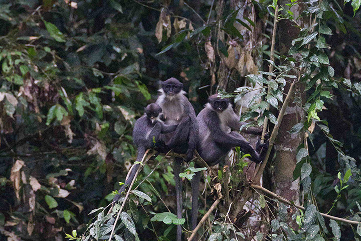 Loài voọc lông xám được tái phát hiện trên đảo Borneo.