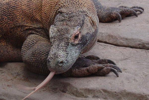 Thế giới kỳ thú của loài rồng Komodo