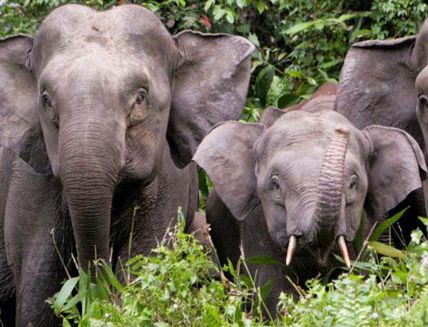 Voi Sumatra đang đứng bên bờ vực tuyệt chủng