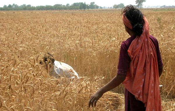 Lúa mì bị lão hóa sớm vì biến đổi khí hậu