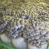 Tìm hiểu về các loại nấm kỳ lạ trong ẩm thực Nhật Bản (2)
