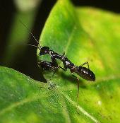 Cận cảnh con vật lạ nửa kiến nửa bọ ngựa ở Việt Nam