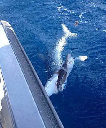 Con cá mập xanh cắn vào phần đuôi của con cá mập mắc lưỡi  câu gần bờ biển Kaiteriteri tại New Zealand.