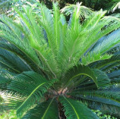 Coi chừng ngộ độc khi tiếp xúc với cây vạn tuế