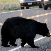 Xây đường hầm dành cho gấu tại Mỹ