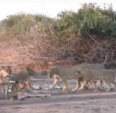 Video: Xem trâu rừng bị 20 con sư tử xẻ thịt