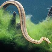 Ngắm loài rắn mọc râu độc nhất vô nhị của Việt Nam