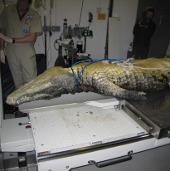 Cá sấu đầu hình búa chết hàng loạt ở bờ biển Fiji