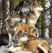 Phát động cuộc chiến chống sói tại Nga