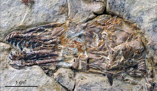 Phần đầu của hóa thạch chim có răng