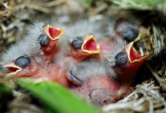 Chim mẹ bỏ chim non khi có tay người chạm vào