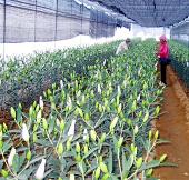 Phú Thọ: Nhân giống vô tính thành công hoa lily